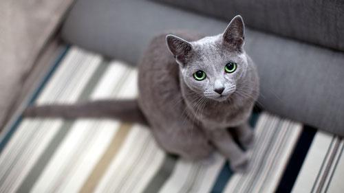 зеленоглазая русская кошка