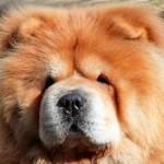 Чау чау: благородный лохматый лев