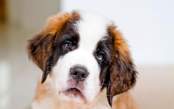 милый щенок сенбернара