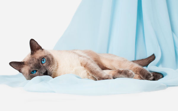 характер тайских кошек