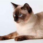 Тайская кошка: персона королевских кровей