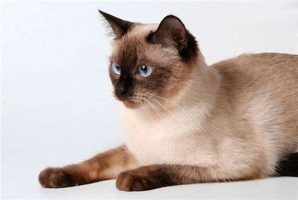 серьезный тайский кот