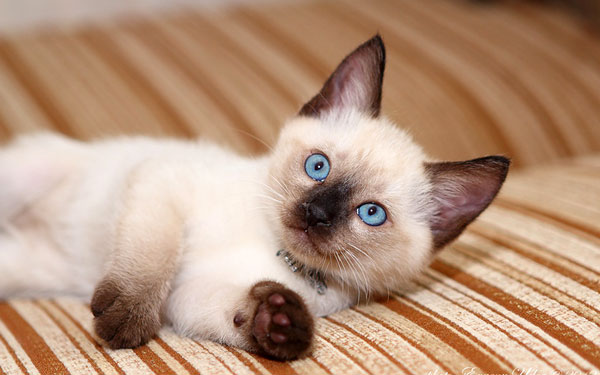 уход за тайскими кошками