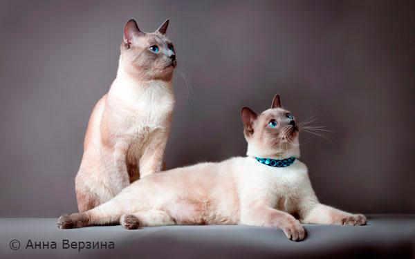 внешний вид тайских кошек
