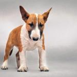 Бультерьер: гордый бойцовый пес