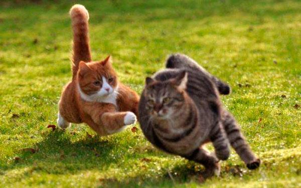драчливые коты