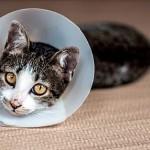 Абсцесс (нарыв) у кошек: опасное гнойное заболевание