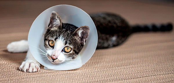 лечение абсцесса у кота