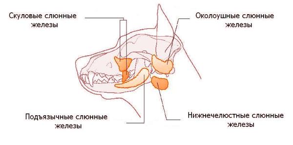 слюнные железы у собаки