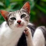 Способы лечения чесотки у кошек