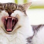 Лечение и уход за зубами у кошек