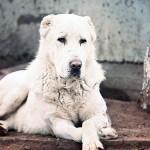 Алабай: описание породы и нюансы по содержанию собаки