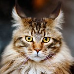 Мейн кун: самая большая домашняя кошка