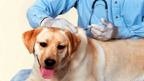 собаке делают укол