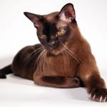 Бурманская кошка: изящество и грация