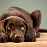 Дисплазия суставов у собак: особенности и причины заболевания