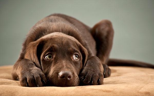 Дисплазия суставов у собаки