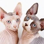 Канадский сфинкс: лысая кошка с большим добрым сердцем