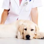 Кастрация собак: особенности и достоинства процедуры