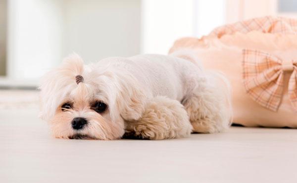 Когда стерилизовать собаку