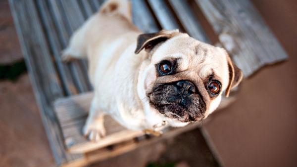 Лечение проптоза у собак