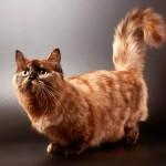 Манчкин: маленькая кошка с большим сердцем