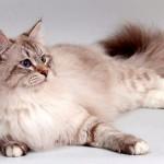 Невская маскарадная: пушистая кошка с берегов Невы