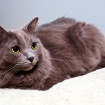 Нибелунг: грациозная кошка с серебристой шубкой
