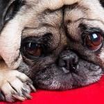 Собаки, у которых выпадают глаза: особенности проптоза