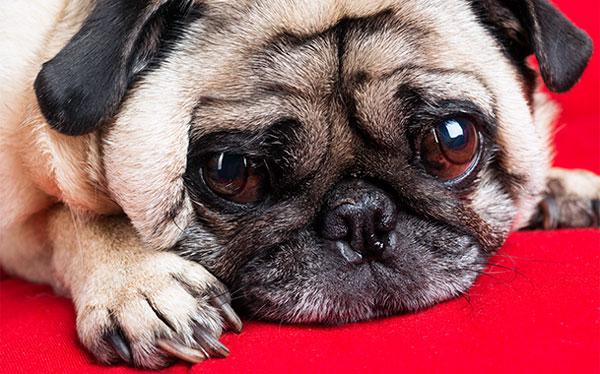 Собака, у которой выпадают глаза