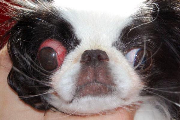 у собаки выпадают глаза