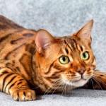 Топ-10: самые дорогие кошки в мире