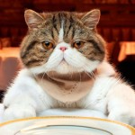 Чем кормить кота после кастрации: простые правила и советы