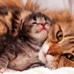 Первые роды у кошки: что нужно знать об этом физиологическом процессе