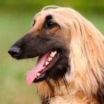 Афганская борзая: обворожительная собака со строптивым характером