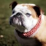 Английский бульдог: дружелюбный пес с английскими манерами