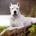 Аргентинский дог: собака с добрым характером и опасной внешностью