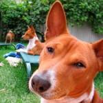 Басенджи: собака, которая не лает