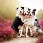 Бордер колли: умная собака для умных хозяев