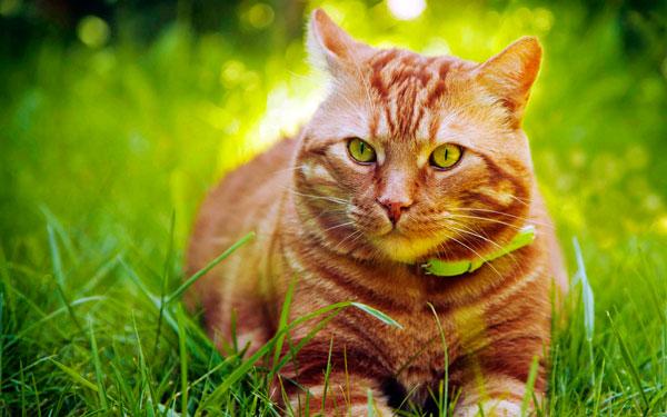 кот без блох