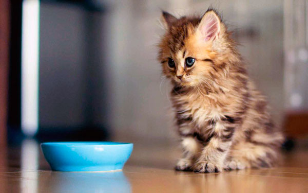 Кот которого тошнит от человеческой еды видео