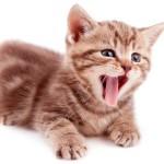 У котенка рвота: что нужно знать хозяину