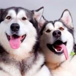 Аляскинский маламут: настоящий домашний волк