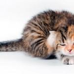 Власоеды у кошек: причины, симптомы, лечение