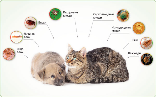 паразиты у кошек симптомы и лечение фото