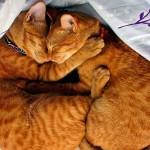 Вязка кошек: правила и особенности важной процедуры