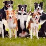 Топ-10: самые умные породы собак в мире