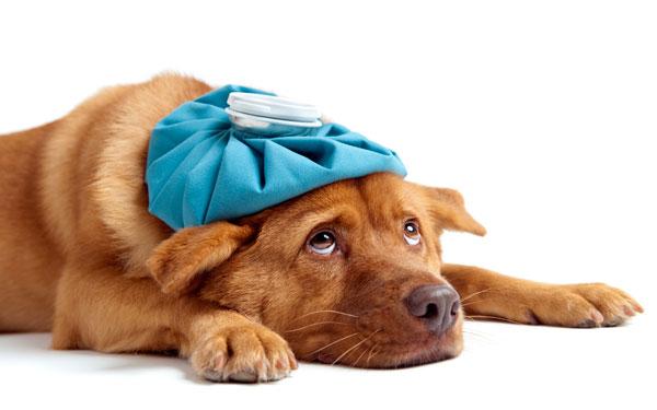 инъекции Гамавита собаке
