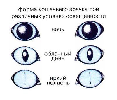 как устроено зрение кошек