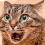 Кашель у кошек: находим причину и назначаем правильное лечение
